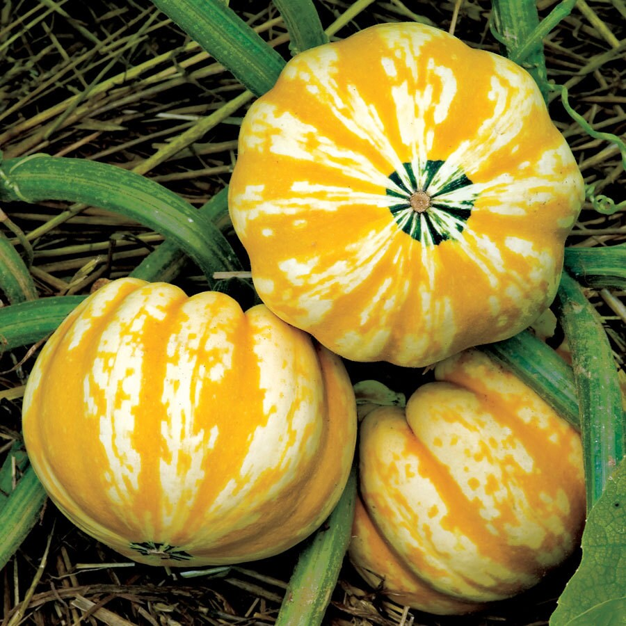 Burpee Festival Hybrid Squash Seed Packet