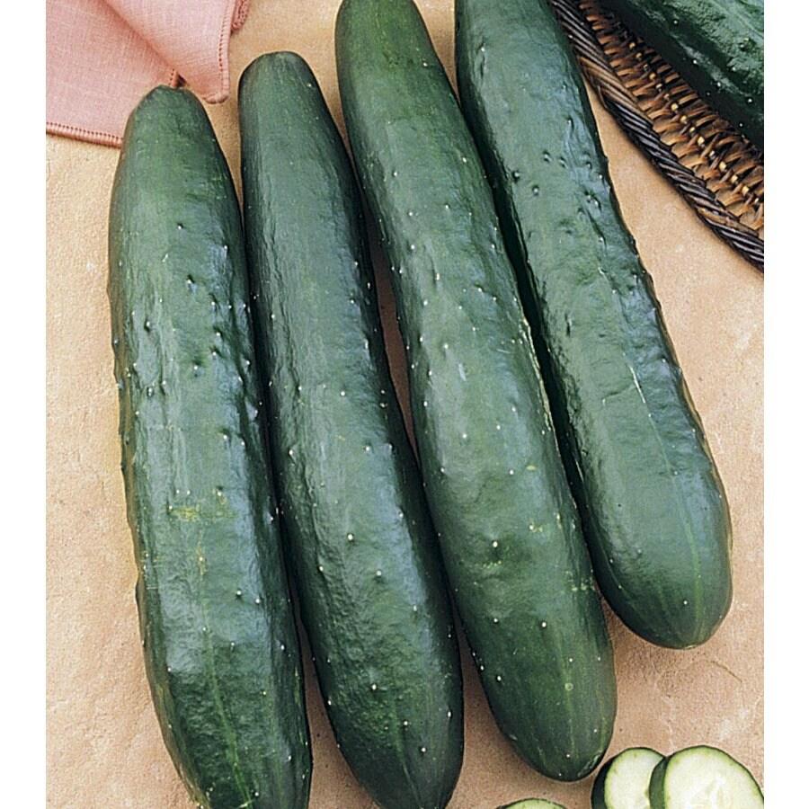 NK Tasty Green Hybrid Cucumber Plant (LB21659)