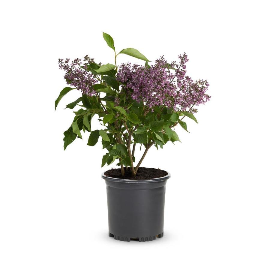 2.25-Gallon Purple Old Fashioned Purple Lilac Flowering Shrub (L7783)