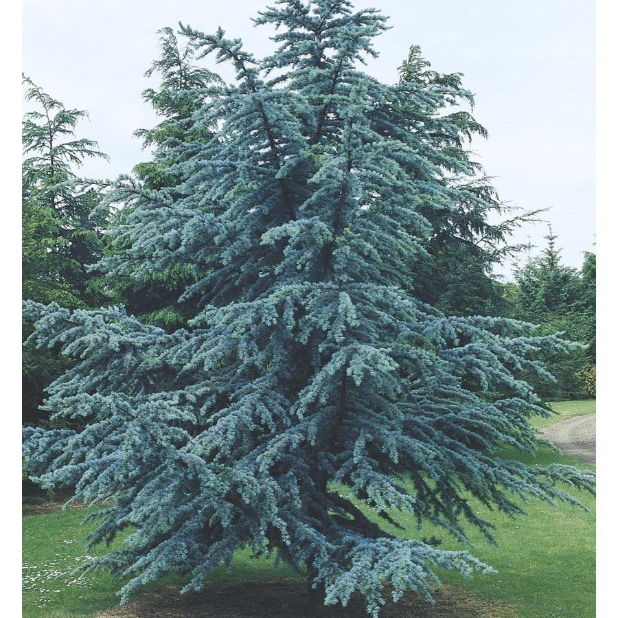6-Gallon Blue Atlas Cedar Feature Tree (L4673)