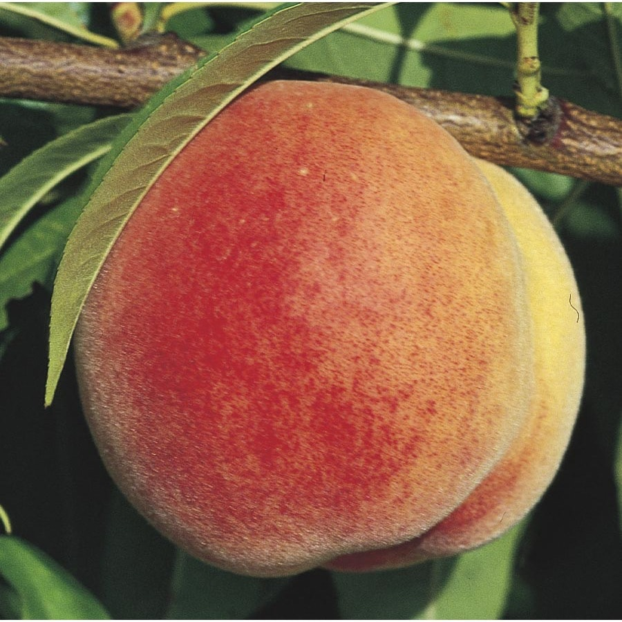 3.74-Gallon Super Sweet Peach Tree (LW01532)