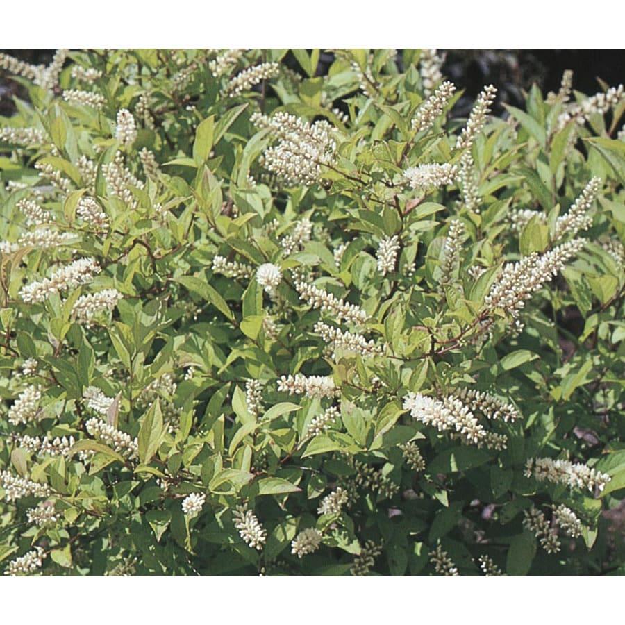 6-Gallon White Henry's Garnet Sweetspire Flowering Shrub (L7186)