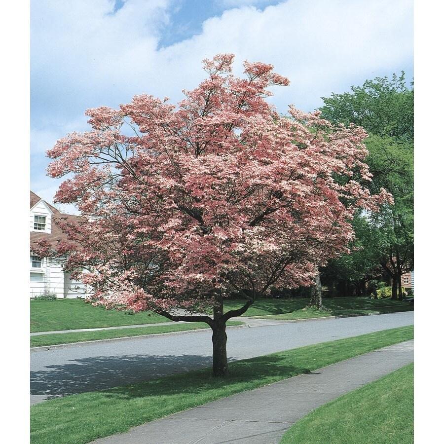 3.25-Gallon Pink Flowering Dogwood Flowering Tree (L3181)