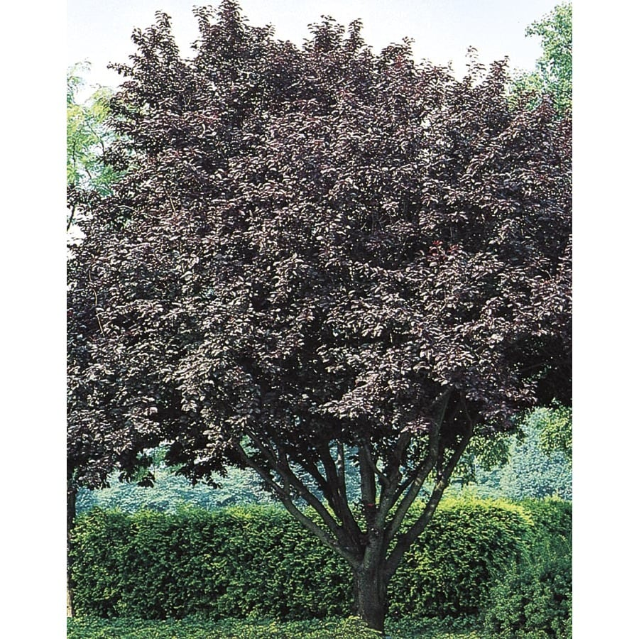 6.08-Gallon Flowering Plum Flowering Tree (L5986)