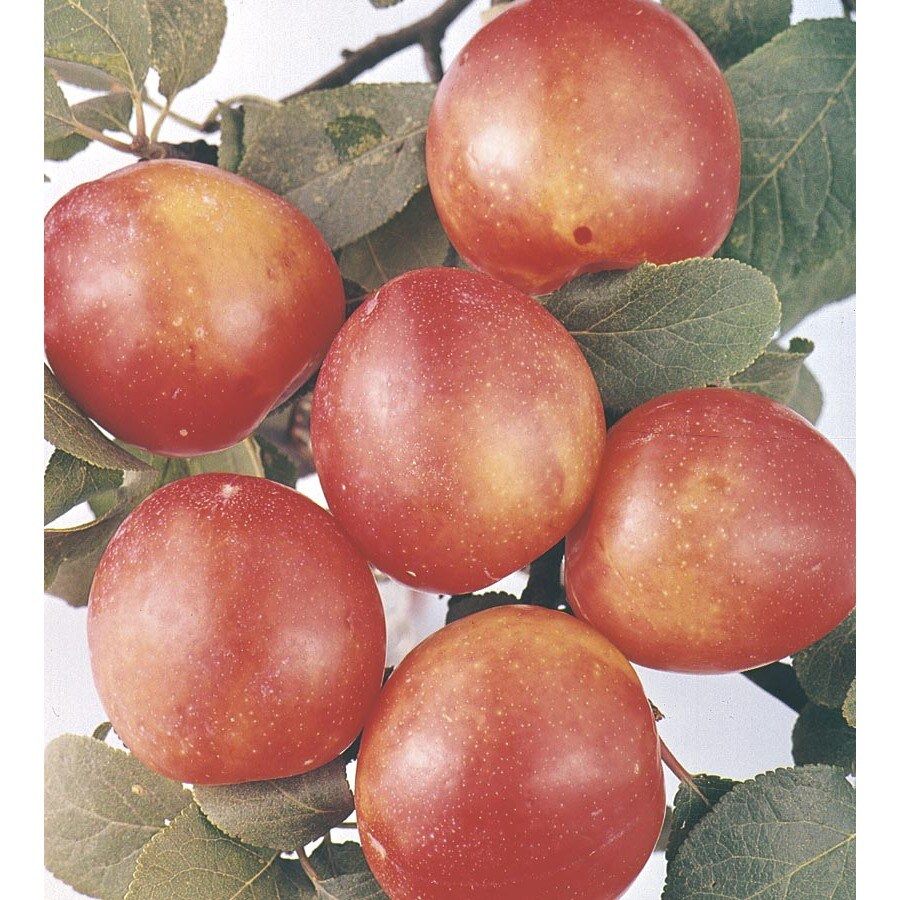 3.74-Gallon Bruce Plum Tree (L1345)