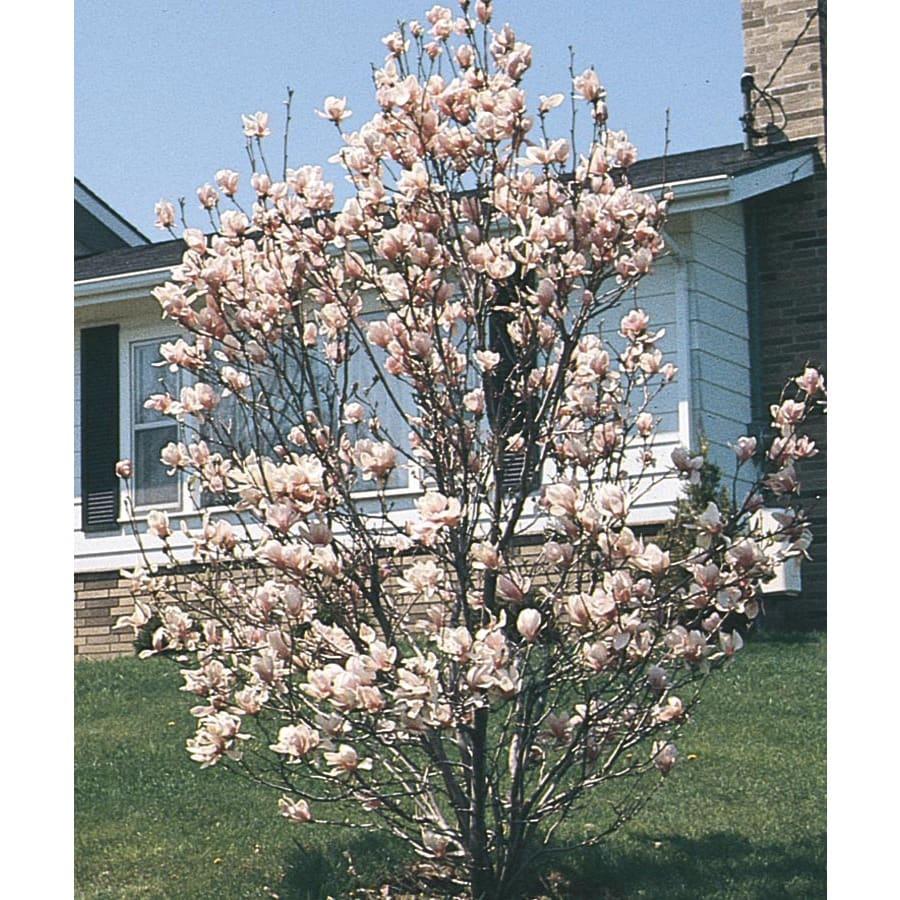 3.74-Gallon Saucer Magnolia Flowering Tree (L3188)