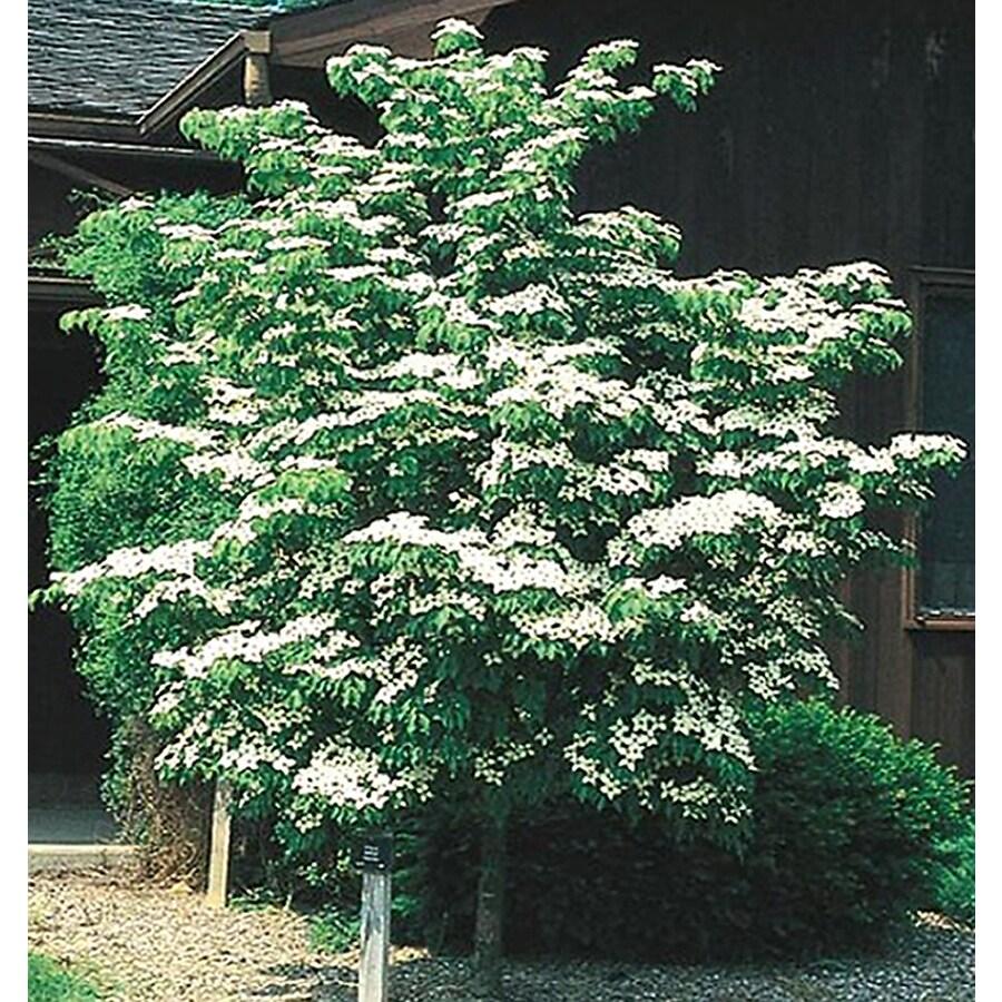 3.25-Gallon Kousa Dogwood Flowering Tree (L1140)