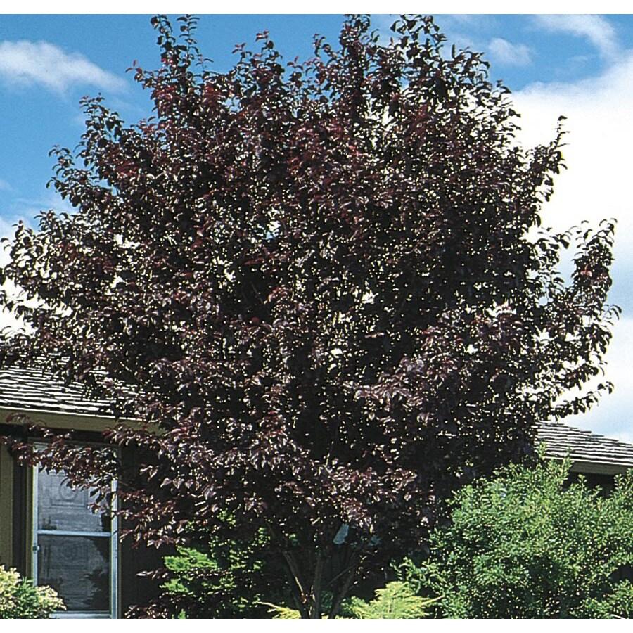 3.74-Gallon Thundercloud Flowering Plum Flowering Tree (L3215)