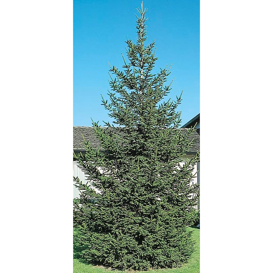 8-Gallon Norway Spruce Feature Tree (L1244)