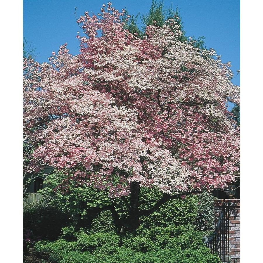 6.08-Gallon Red Flowering Dogwood Flowering Tree (L1022)