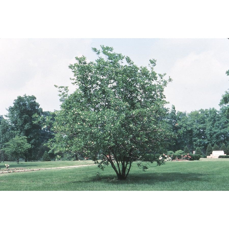 Sweetbay magnolia tree the image kid for Magnolia tree