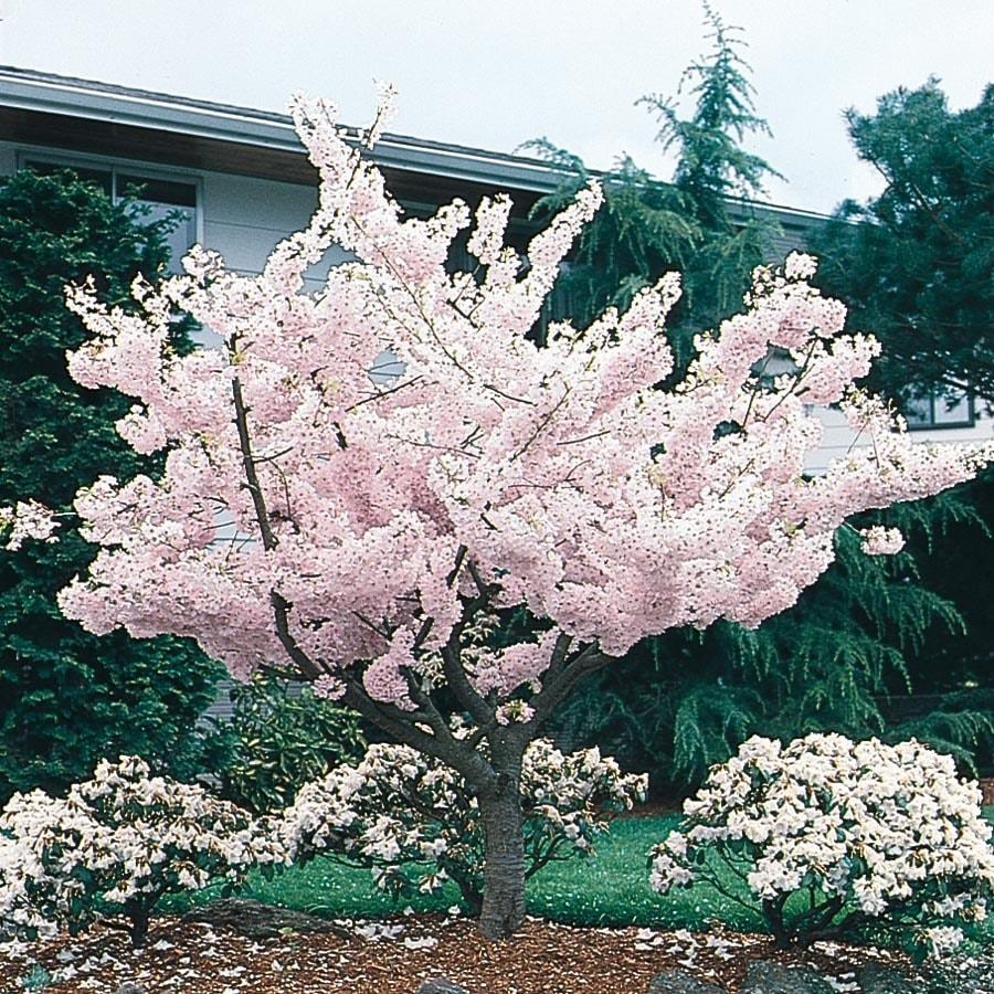 24.5-Gallon Yoshino Flowering Cherry Flowering Tree (L3234)