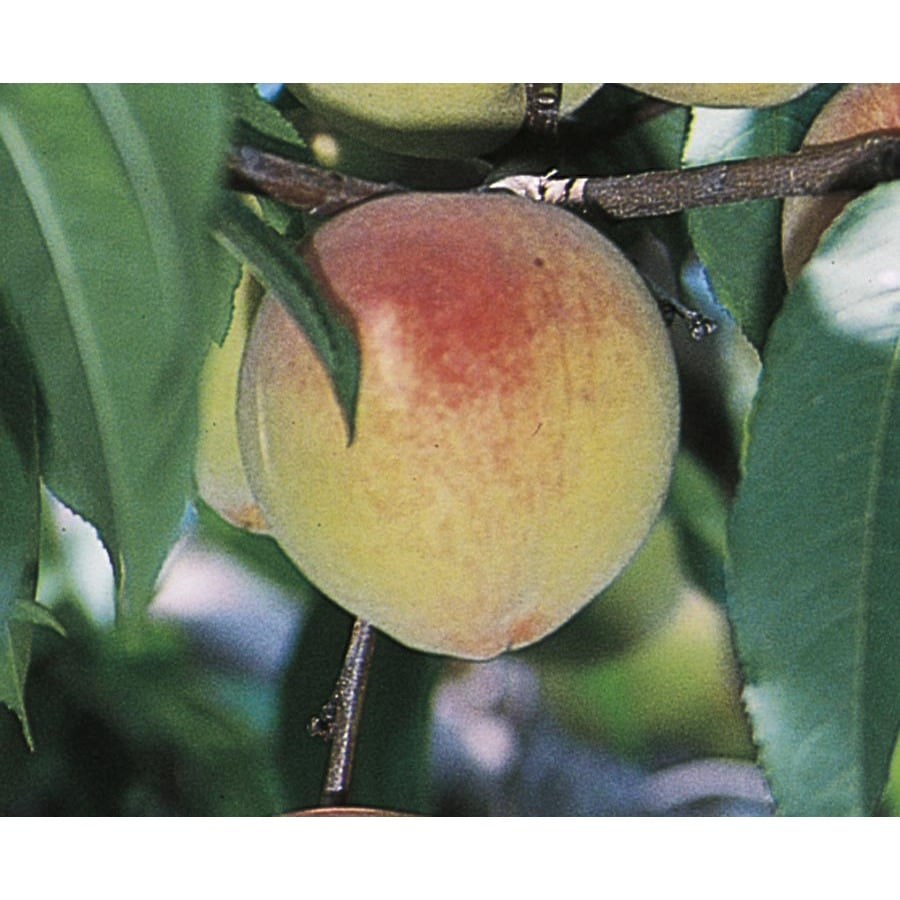 3.74-Gallon Belle Of Georgia Peach Tree (L3218)