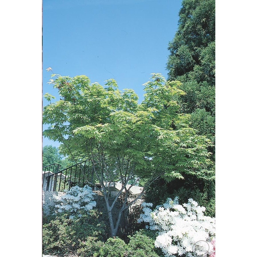 13-Gallon Japanese Maple Feature Tree (L4163)