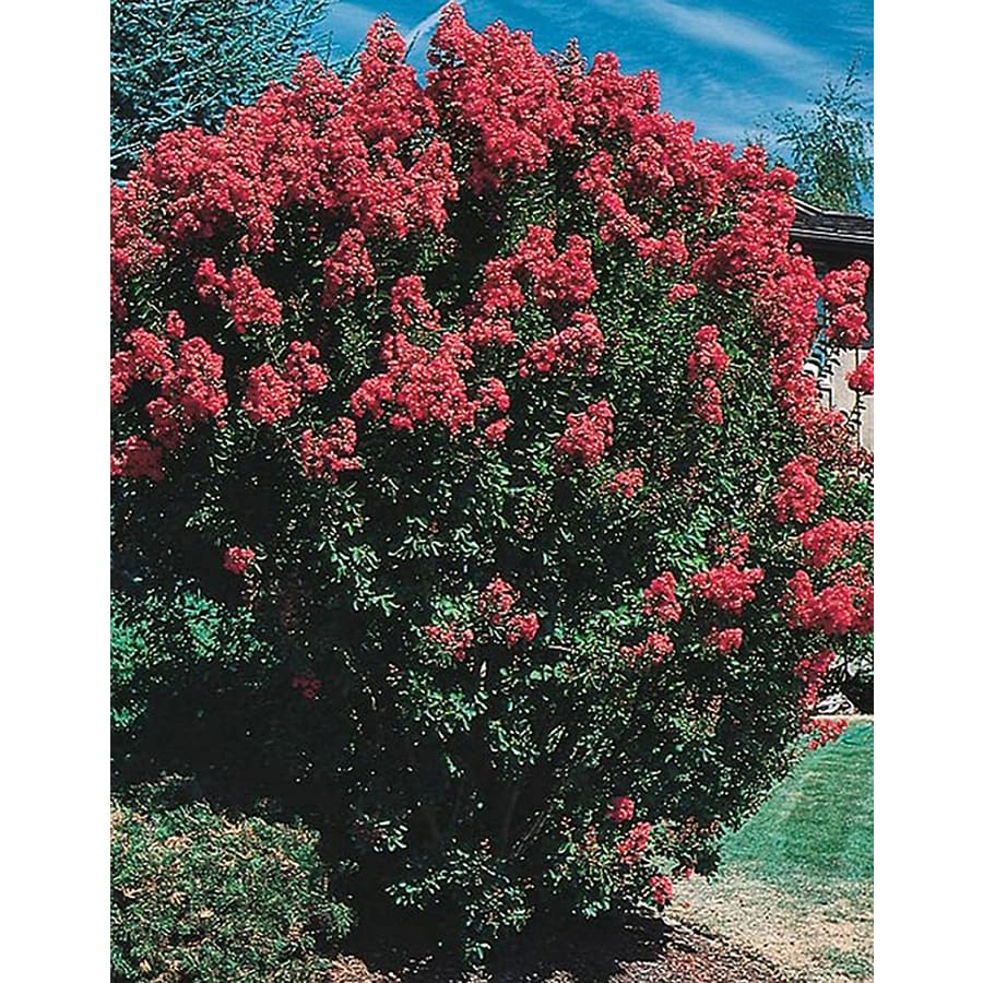 3.25-Gallon Crape Myrtle Flowering Tree (L6644)