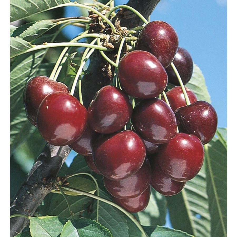 3.74-Gallon Stella Cherry Tree (L10481)