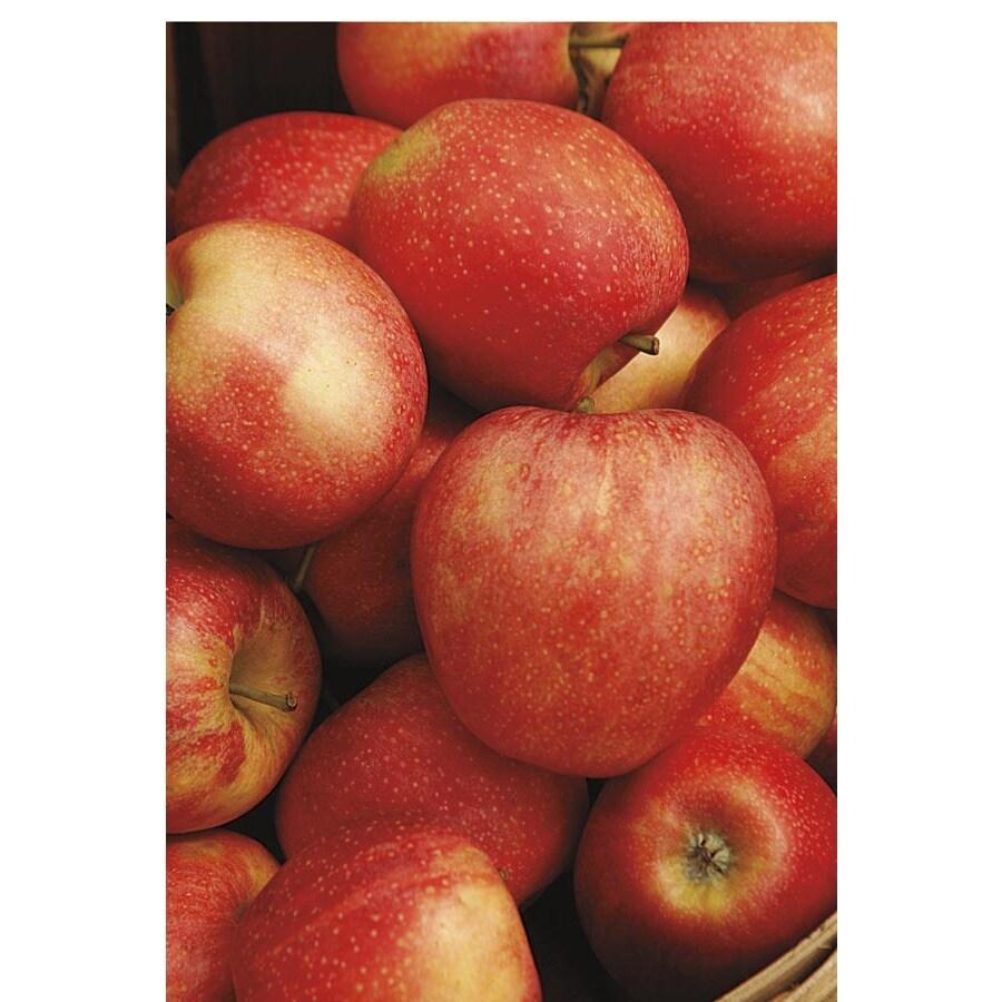 3.25-Gallon Honeycrisp Apple Tree (L11893)