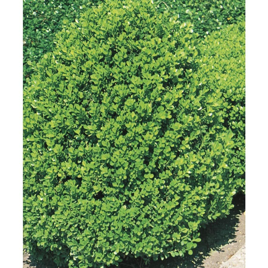 3.63-Gallon Wintergreen Boxwood Foundation/Hedge Shrub (L3448)