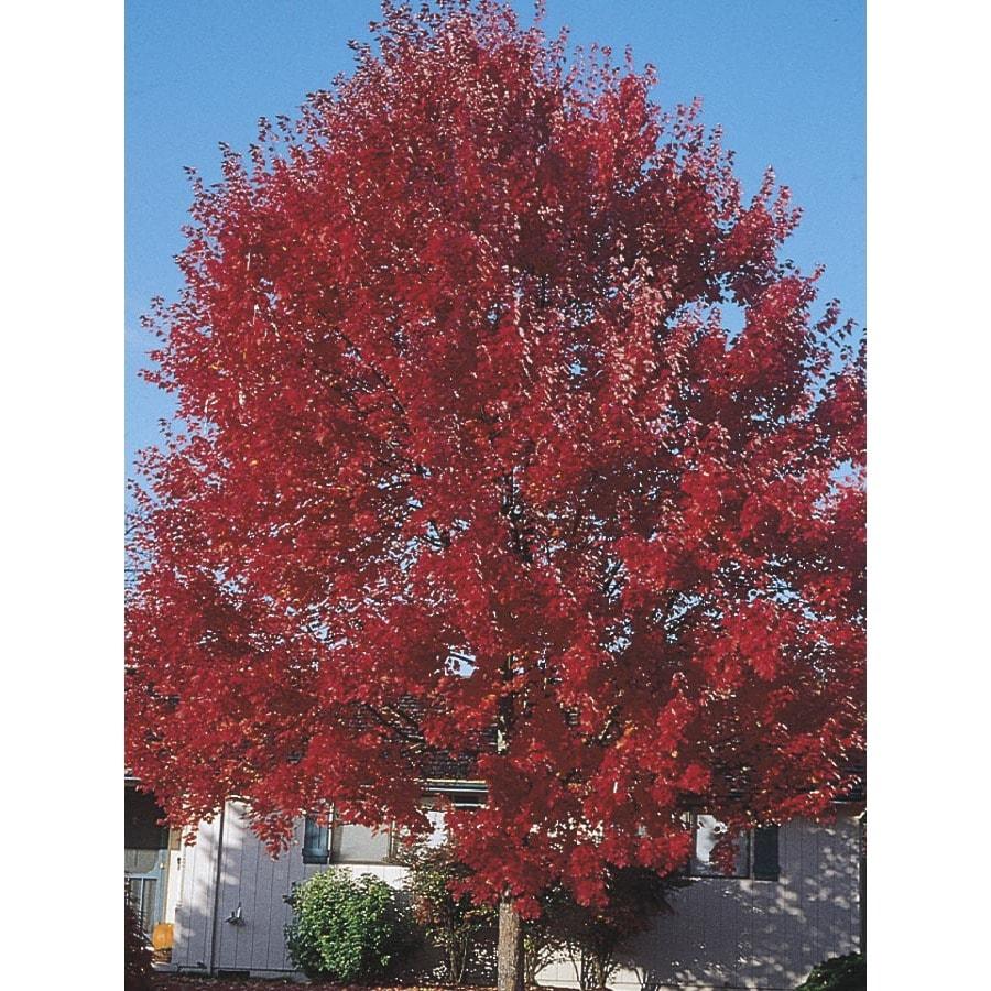 3.74-Gallon Sun Valley Red Maple Shade Tree (L2080)