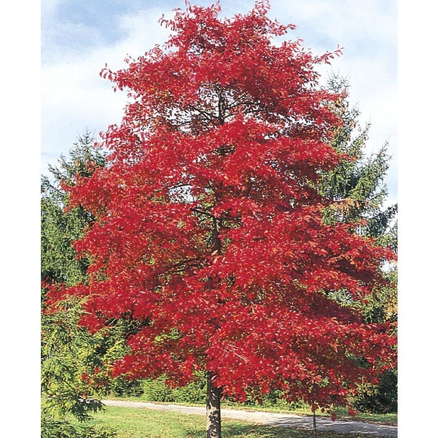3.74-Gallon Blackgum Shade Tree (LW01684)