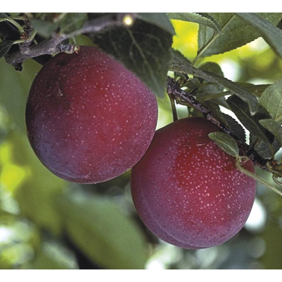 3.25-Gallon Supersweet Plum Tree (L24831)