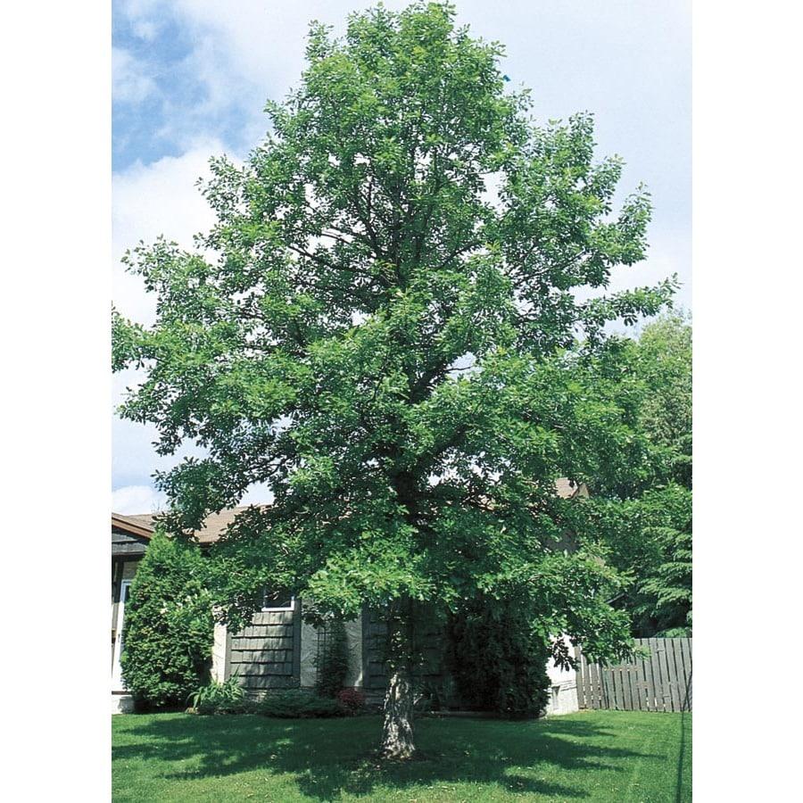 3.25-Gallon Bur Oak Shade Tree (L1102)