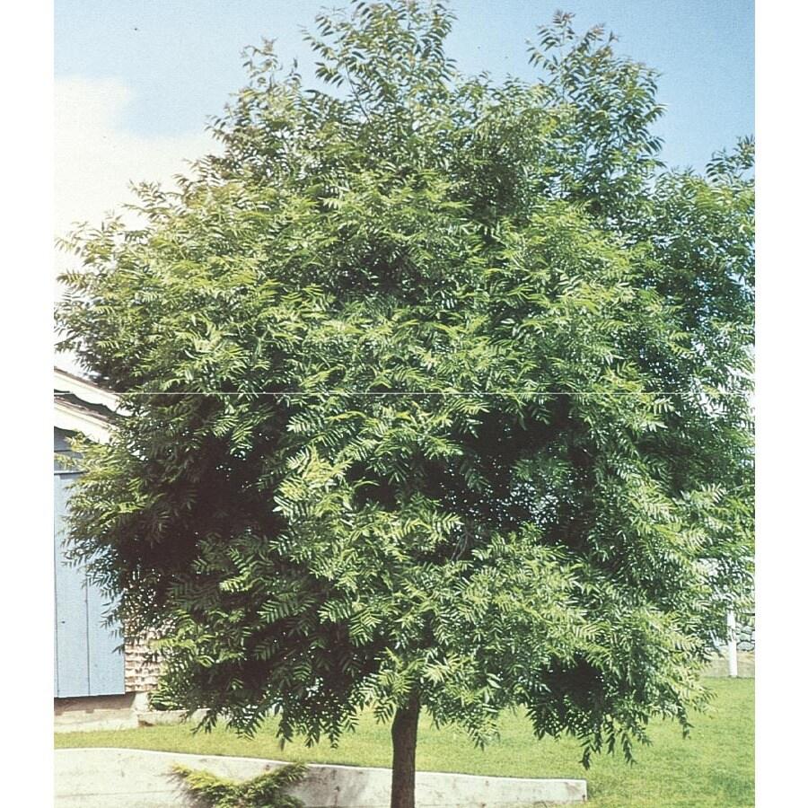 5.5-Gallon Black Walnut Shade Tree (L4850)
