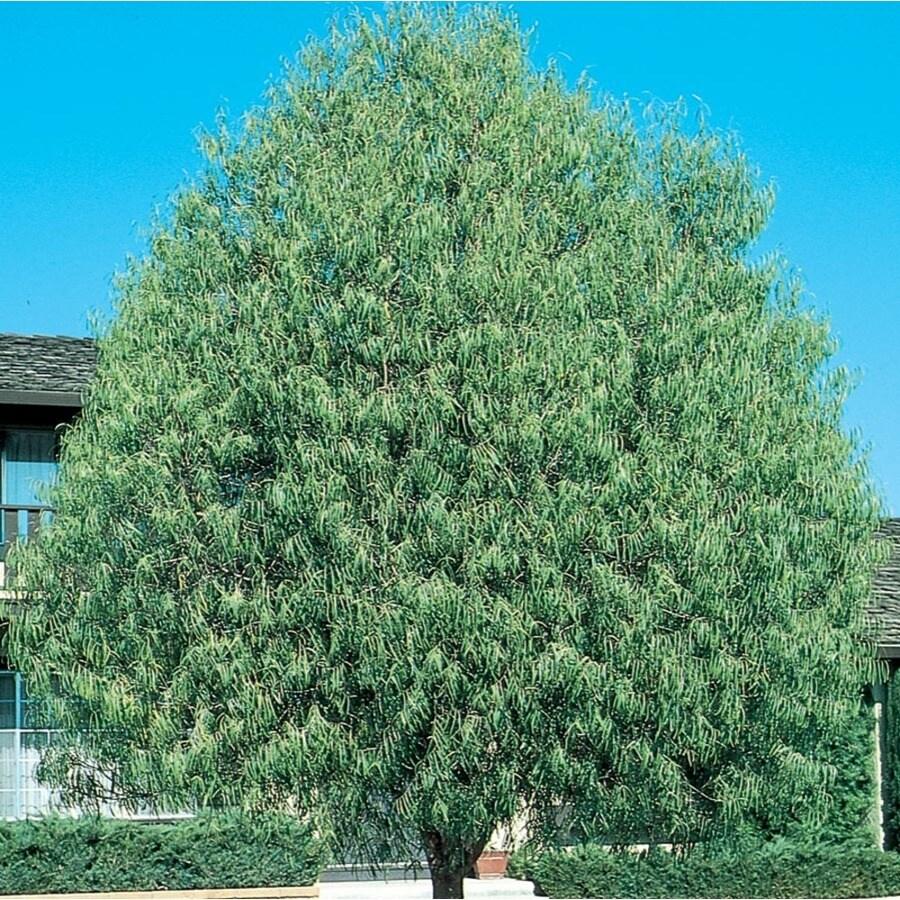 28.5-Gallon Desert Willow Shade Tree (L1105)
