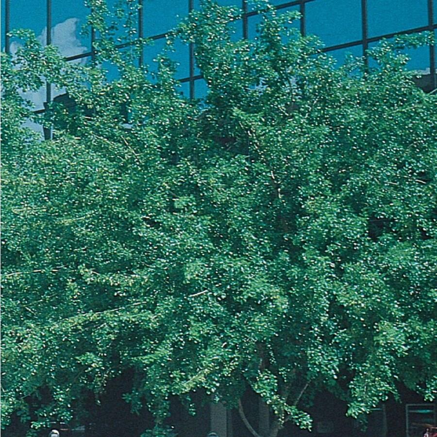 3.5-Gallon Indian Rosewood (L11712)