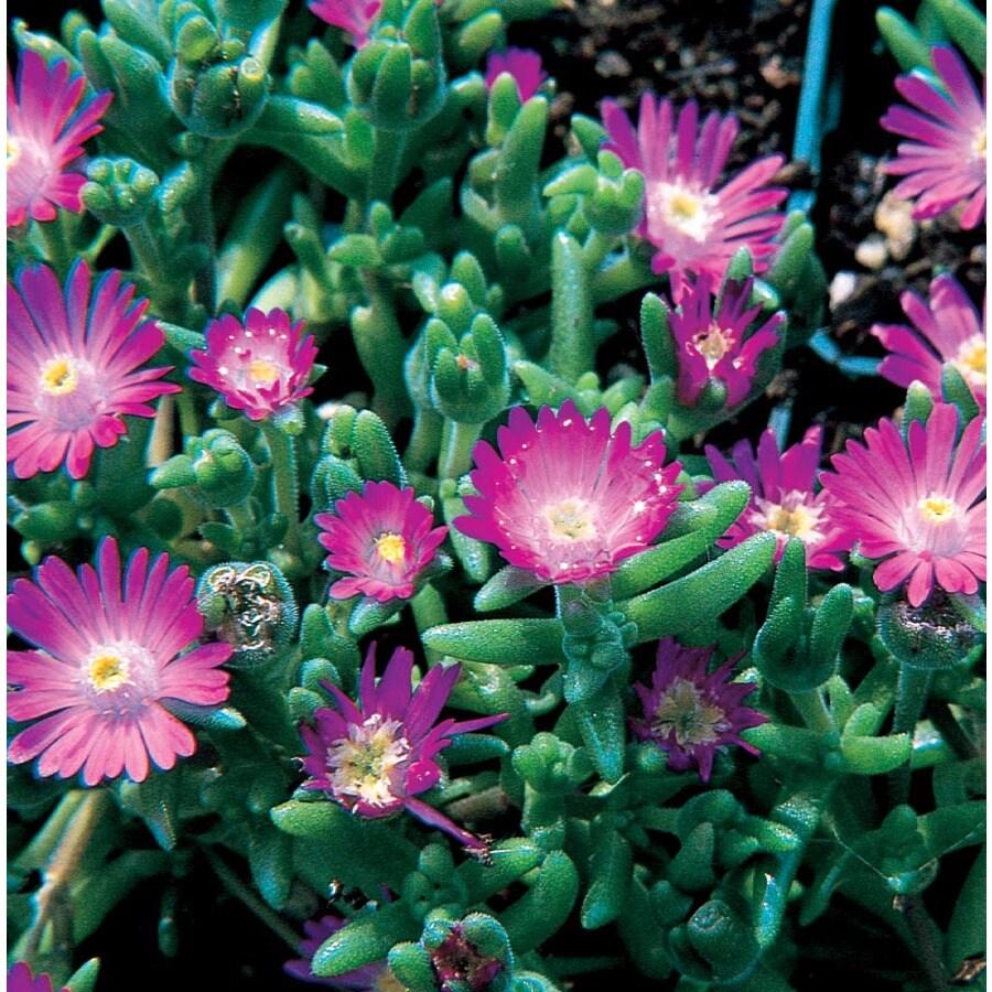 2.25-Gallon Lavender Ice Plant (L2833)