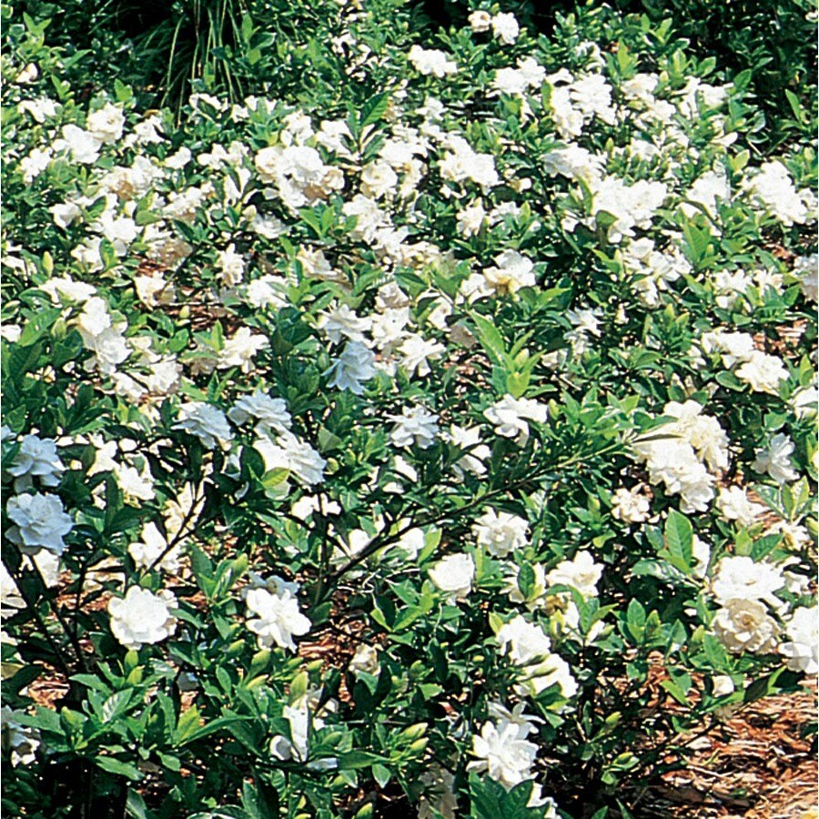 10.25-Gallon White Gardenia Flowering Shrub (L5150)