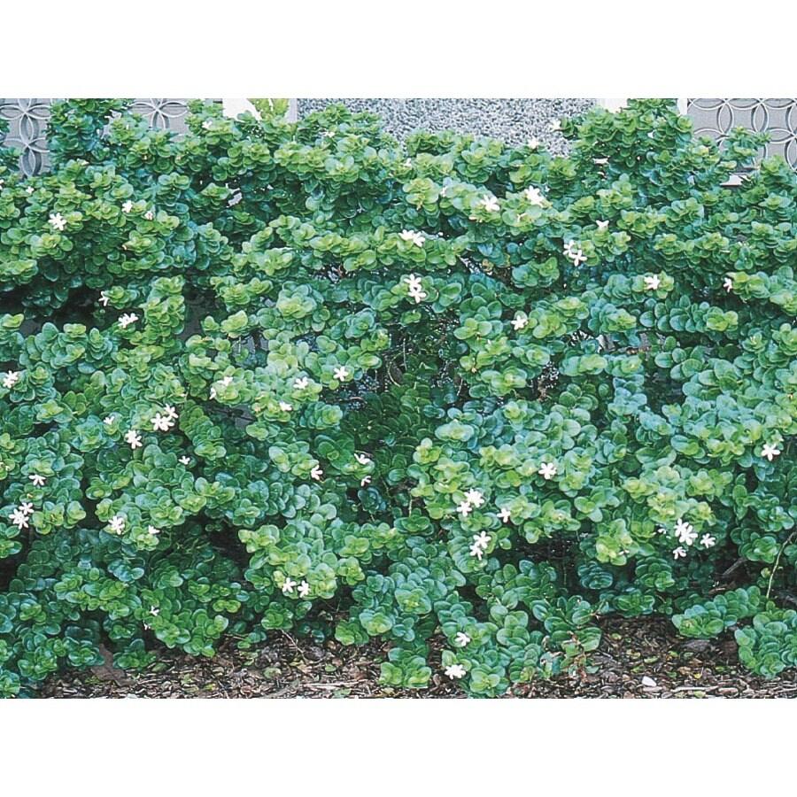 3.25-Gallon White Boxwood Beauty Natal Plum Foundation/Hedge Shrub (L7491)