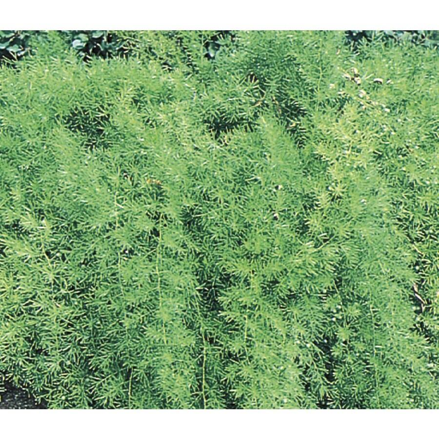 2.5-Gallon Asparagus Fern (L5775)