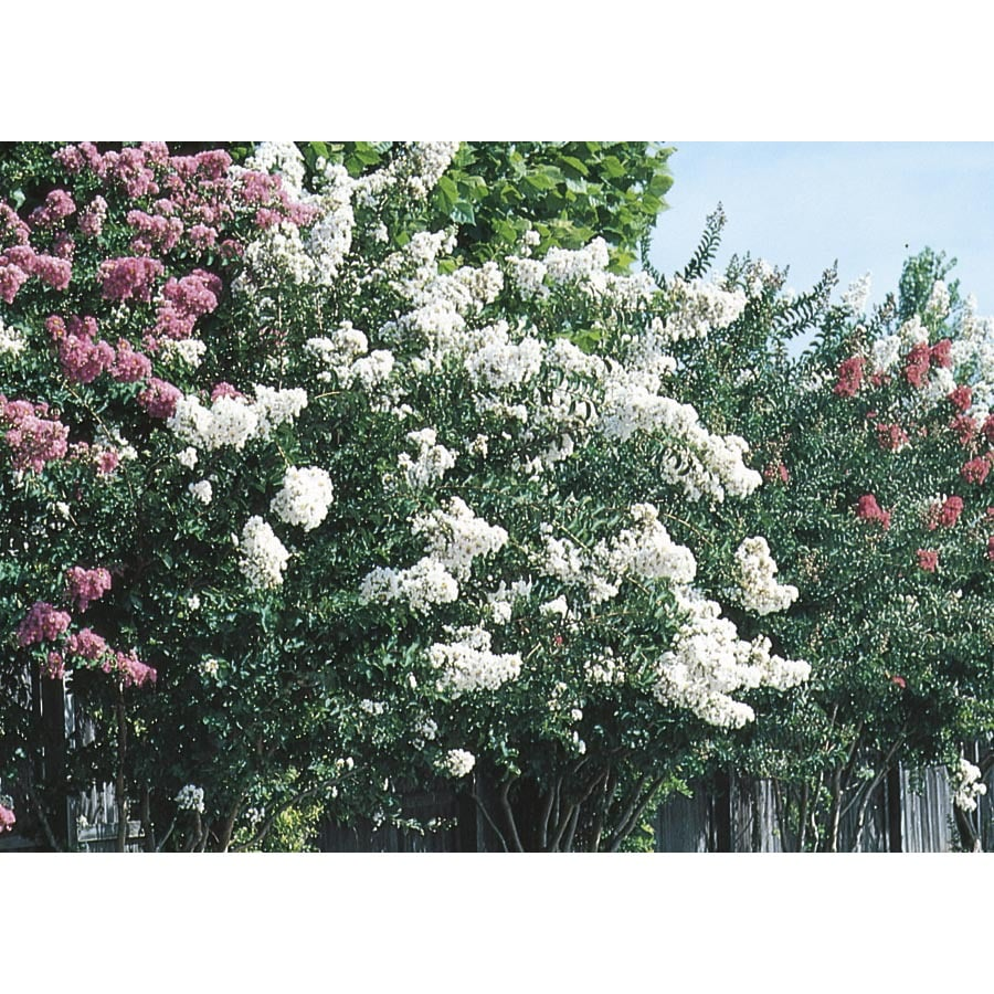 3.5-Gallon Mixed Dwarf Crape Myrtle Flowering Shrub (L7613)