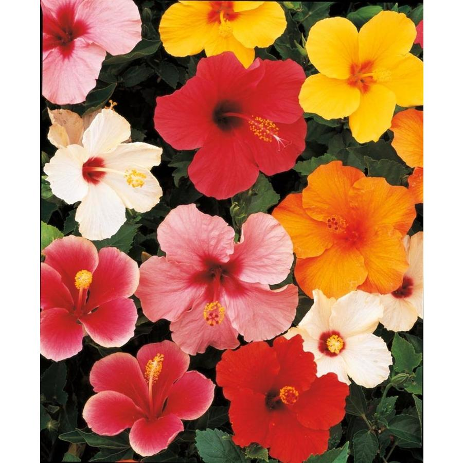 3.38-Gallon Mixed Tradewinds Hibiscus Flowering Shrub (L0177)