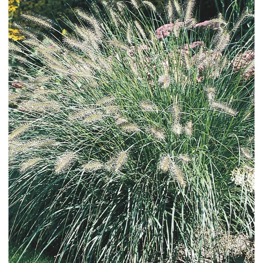Shop 2 5 gallon fountain grass l4997 at for Fountain grass