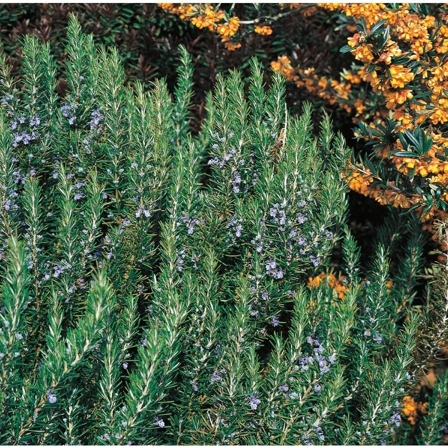 3.5-Gallon Blue Rosemary Accent Shrub (L7037)