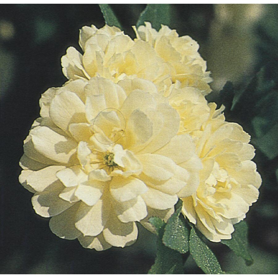 2.5-Quart Yellow Lady Banks Rose (L9769)