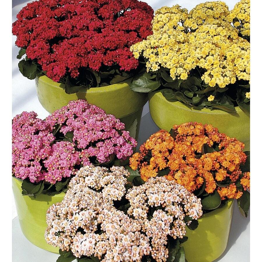 1.25-Quart Flowering Kalanchoe (LW04263HP)