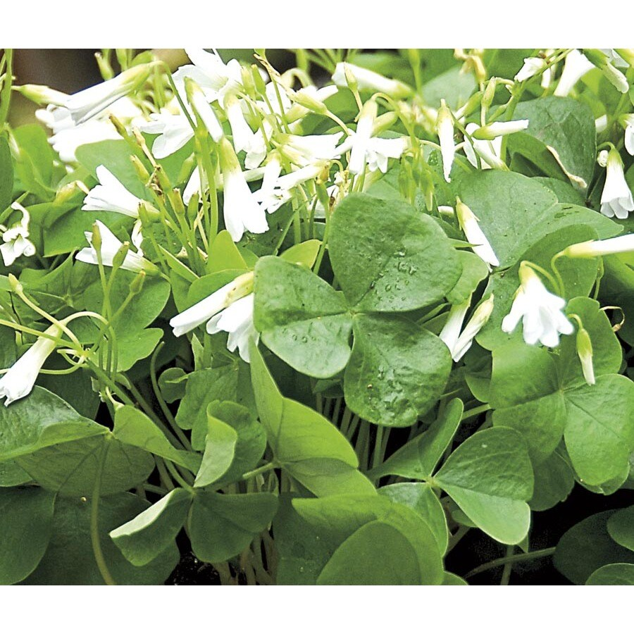 Quart Green Shamrock (L21438HP)