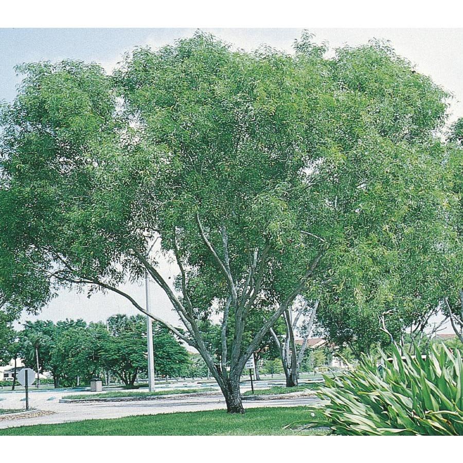 2.5-Quart Hawaiian Koa Feature Tree (L21693)