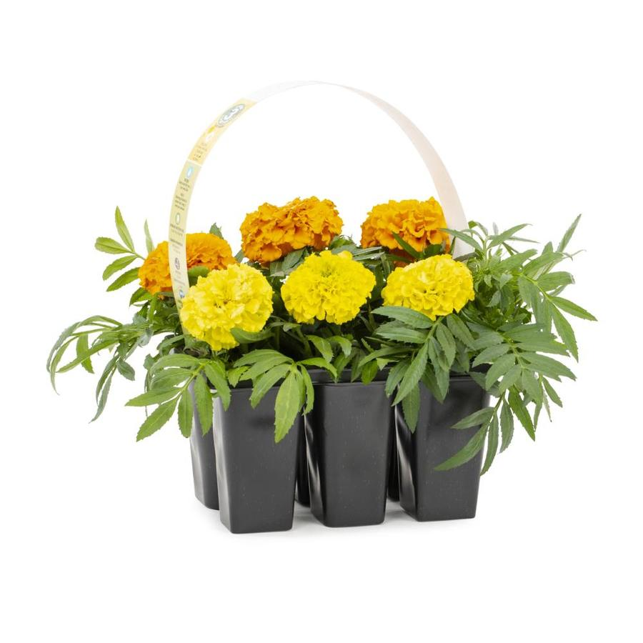 6-Pack African Marigold (L16569)