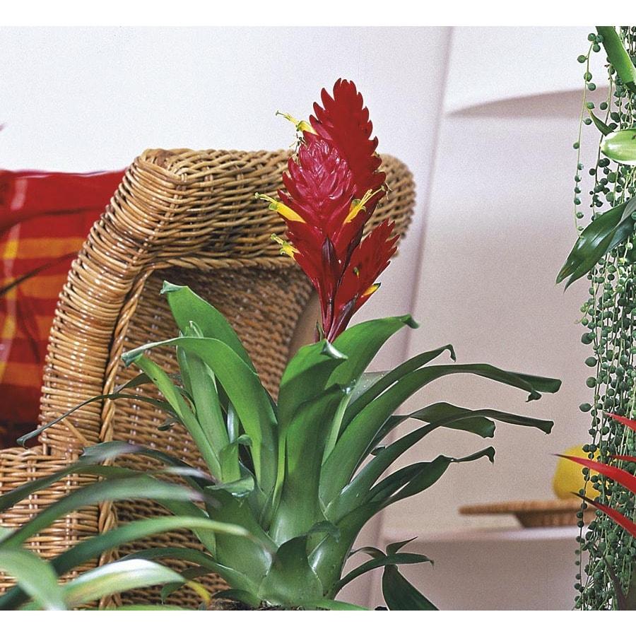 BETTER-GRO 2.6-Quart Bromeliads (L20921HP)