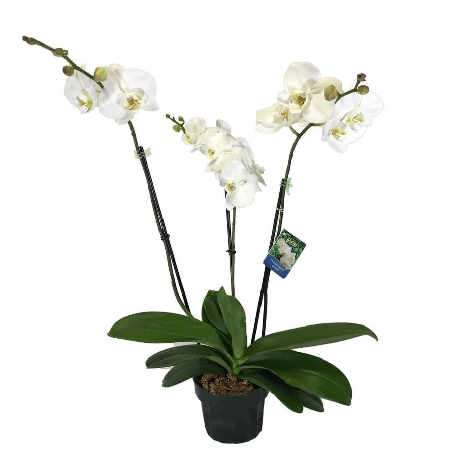 Gubler 1.5-Quart Cymbidium in Planter (Orchid)