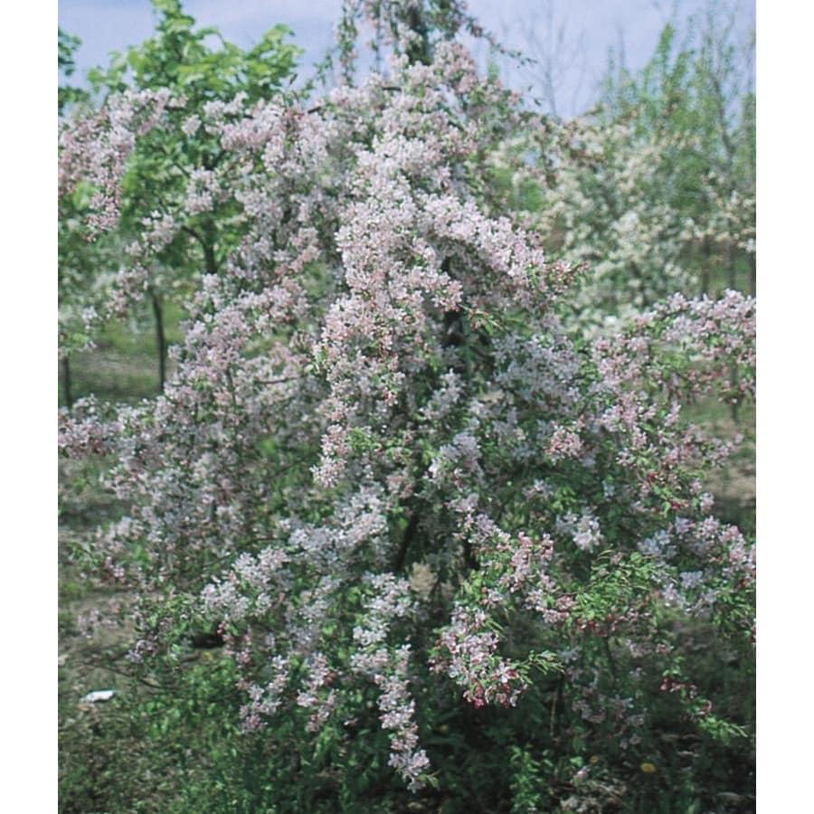 8-Gallon Louisa Crabapple Flowering Tree (L7639)