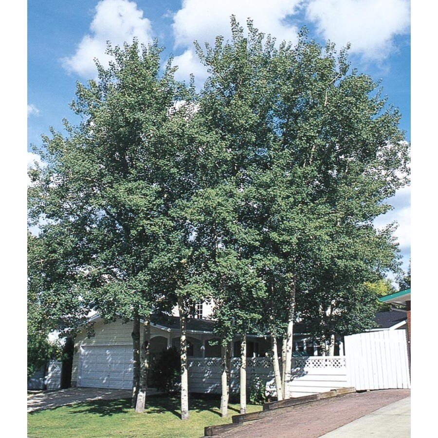 8.9-Gallon Trembling Aspen Shade Tree (L4358)