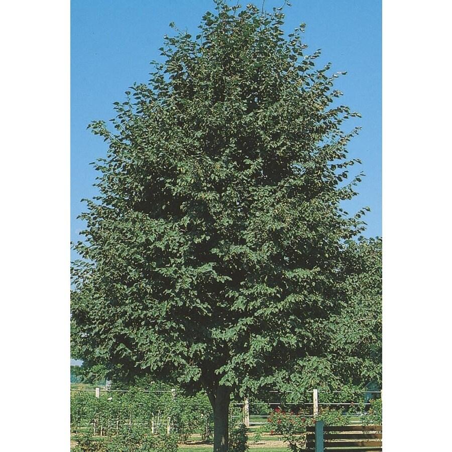 8.99-Gallon Greenspire Linden Shade Tree (L1072)