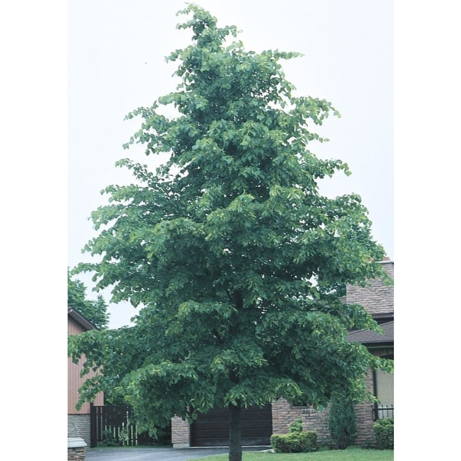 8.9-Gallon Littleleaf Linden Shade Tree (L6140)