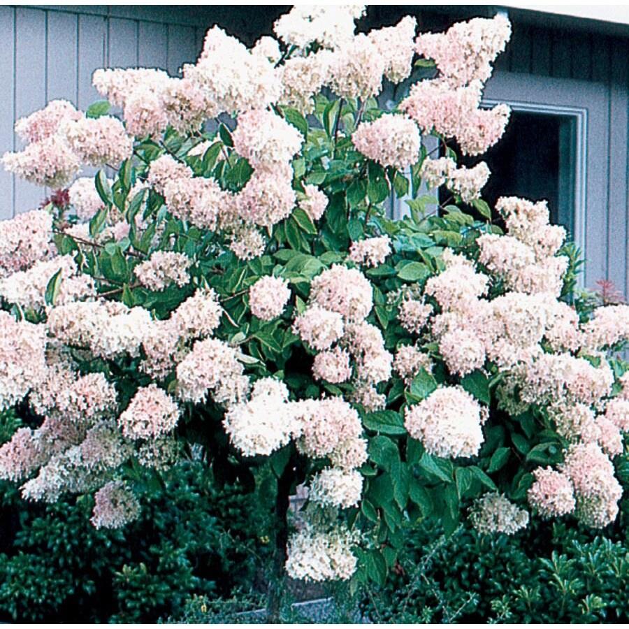 8.99-Gallon White Peegee Hydrangea Flowering Shrub (L3513)