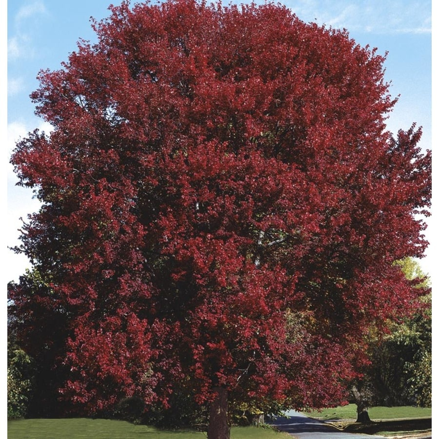 8.99-Gallon Burgundy Belle Maple Shade Tree (L2079)